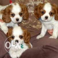 cavelier king charles spaniel puppies