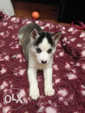 Siberian husky 3 months for sell