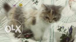 For sale kittens
