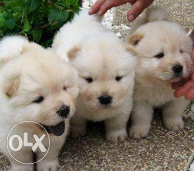Chow Chow Puppies! available