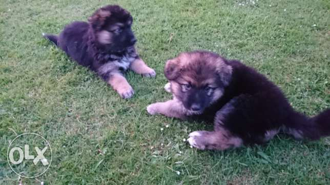 Readyavailable German Shepherd Pups