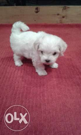 Maltese Males Puppy For Sale