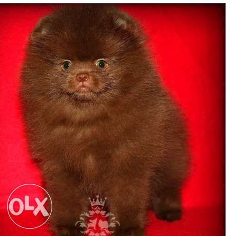 X Exceptional Kc Chocolate Teddy Bear Pomeranian X available
