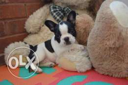 male and female French Bulldog puppies ready