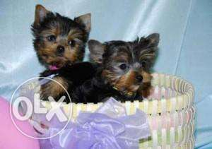 Healthy Yorkshire Terrier puppies