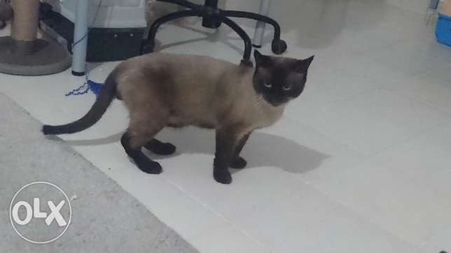 Mature Siamese Cat Looking for a Home الفنطاس -  3