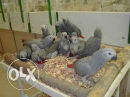African gray babies