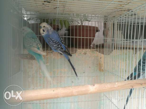 Bird for sell