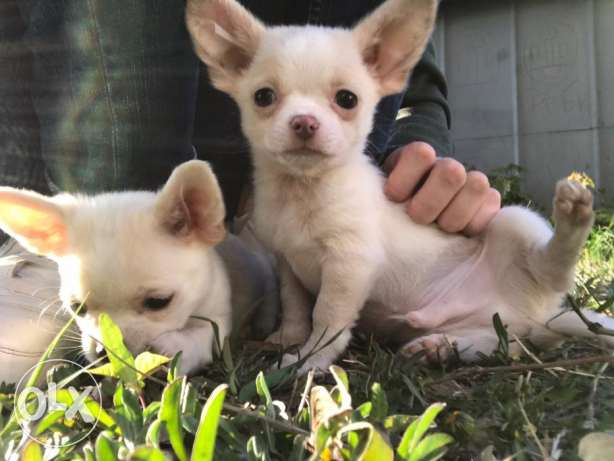 Chihuahua Puppies in Kuwait