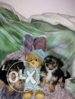 2 yorkshire terrier puppies available