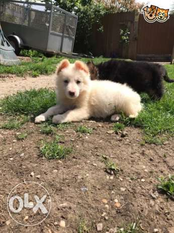 White German Shepherd available