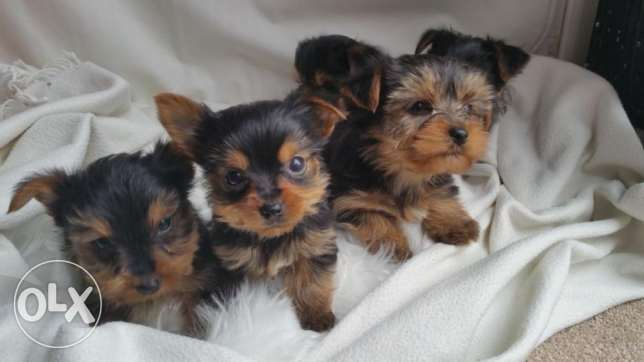 Quality Kc Reg Small In Size Yorkie Puppies