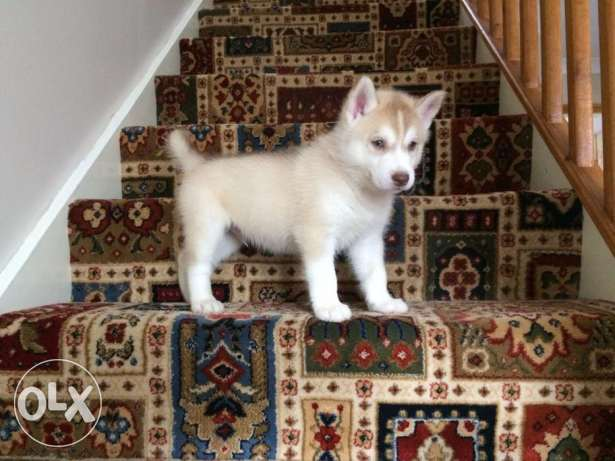 Siberian Huskies for home adoption only