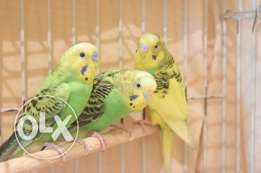 3 Holland BUDGIES For Sale.