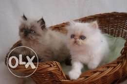 persian kittens now available