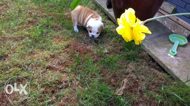 For Adoption English Bulldog Male