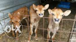 jerseys milk bottle calves for sale