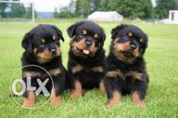 Nice looking and adorable rottweiler puppies
