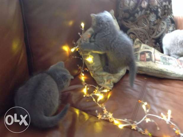 Purebred Grey Male and Female British Short Hair Kittens Ready