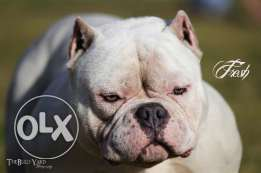 American bully son of phenom for sale imported from USA