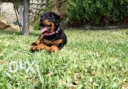 nice looking and adorable rottweiler puppies for sale