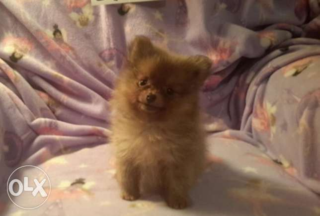 Pomeranian Maledd Available