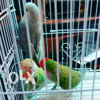 Birds for sell