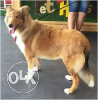 Rough Collie Dog for Sale in Kuwait for loving buyers only