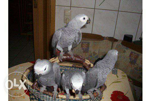 Lovely African grey Parrot
