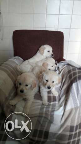 Golden Retriever Puppies For Adoption Male And Female.