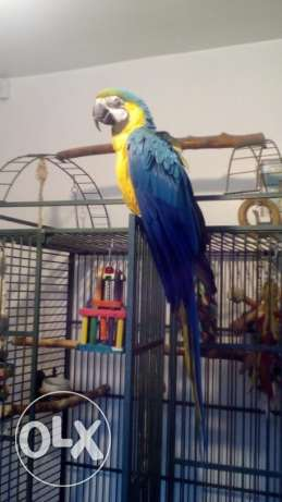Beautiful pair of blue and gold Macaw Price Lowered