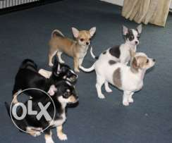 Chihuahua Puppies For Re-homing