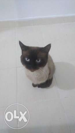 Mature Siamese Cat Looking for a Home الفنطاس -  1