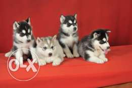 S-Husky puppies
