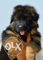 German shepherd long hair
