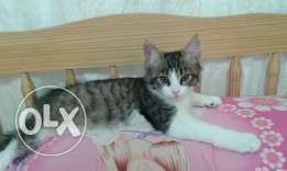 A female cat for adoption 3 months