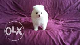 Tiny White pomeranian puppy female for sale