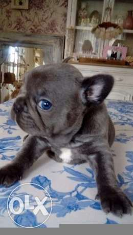Stunning Litter of Solid Blue French Bulldog Puppies