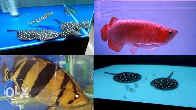 Beautiful Fresh Water Fish For House Decoration