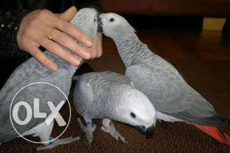 Pair Of African Grey Parrots, Male And Female .