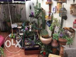 Outdoor Cacti for sale