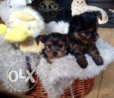 Kc Reg Toy Yorkshire Terrier Puppies For Sale