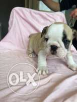 British bulldog for sale