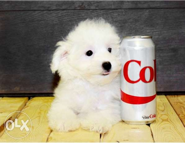 cute cute cute bichon maltais puppies for you