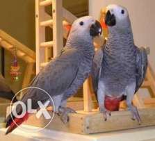 African grey parrot 3 moths old super tame inc cage