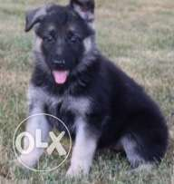Energetic German Shepherd Puppies