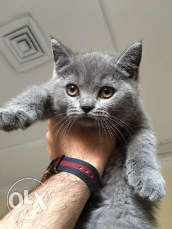 British Blue Kitten for Sale