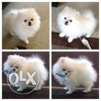 Pomerania puppies for sale