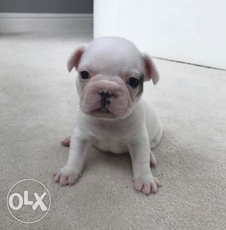 Frenh Bulldog For Adoption