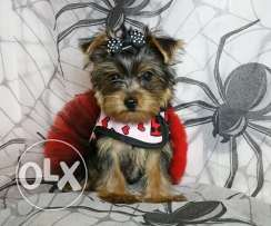 Mini teacup- Yorkshire Terrier Puppies for christmas